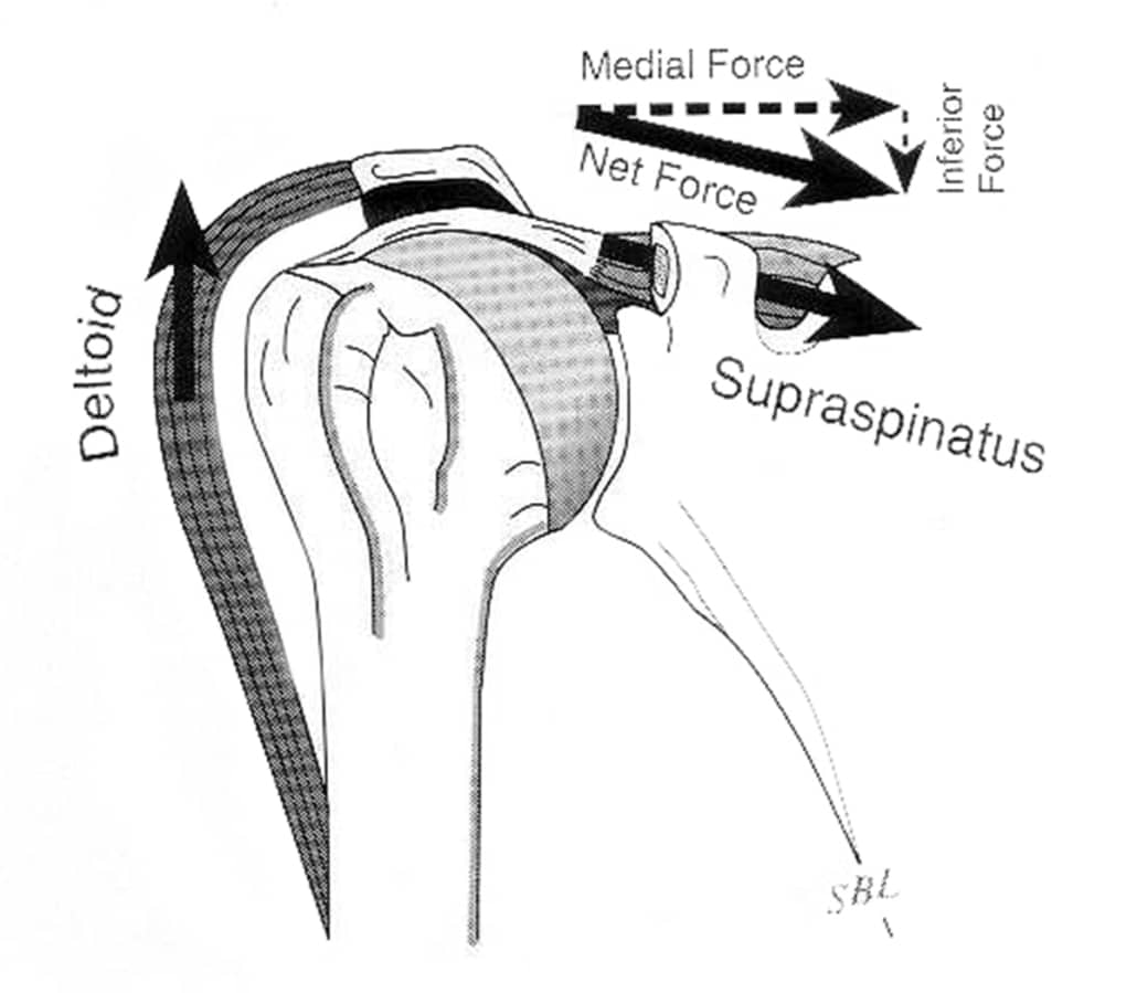 rotator cuff biomechanics - supraspinatus deltoid line of pull